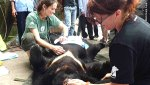 Moon Bear rescue in Vietnam