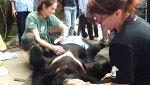 Moon Bear rescue in Vietnam